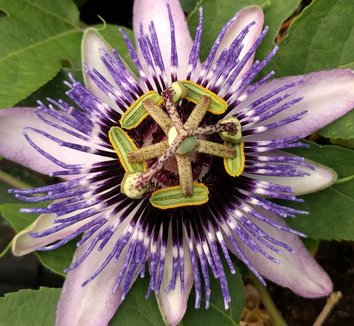 Passiflora 'Damsel's Delight' 6 flower