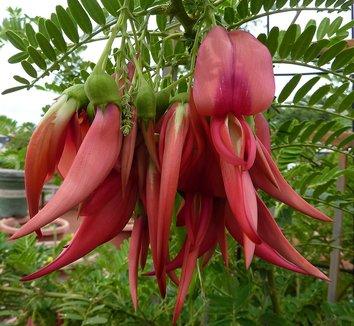 Clianthus puniceus 1 flower