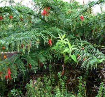 Clianthus puniceus 4 form