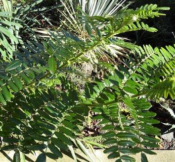 Clianthus puniceus 17