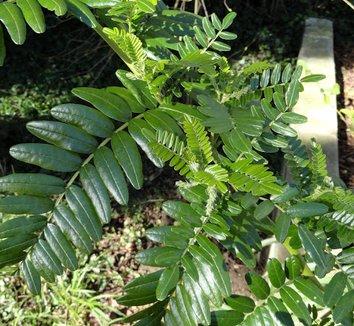 Clianthus puniceus 18