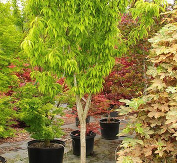 Acer carpinifolium 'Esveld Select' 1 form