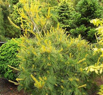 Pinus 'Bergman's Variegated' 5