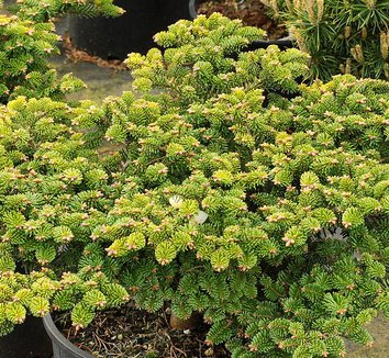 Abies alba 'Hedge' 1