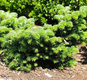 Abies borisii-regis x 'JK Greece' 1