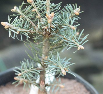 Abies concolor 'Hexe' 1