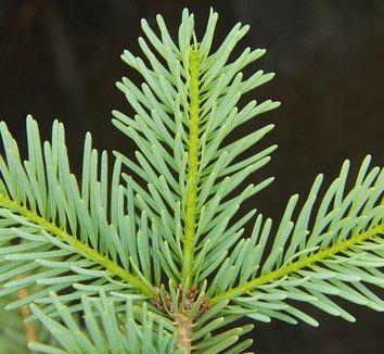 Abies grandis x concolor 'Leuteneggeri' 1