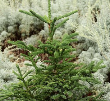 Abies procera 'Rat Tail' 1 form