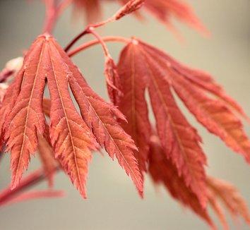 Acer circinatum 'Kisetsu dore' 1