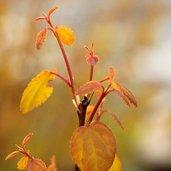 Cercidiphyllum japonicum 'Claim Jumper'