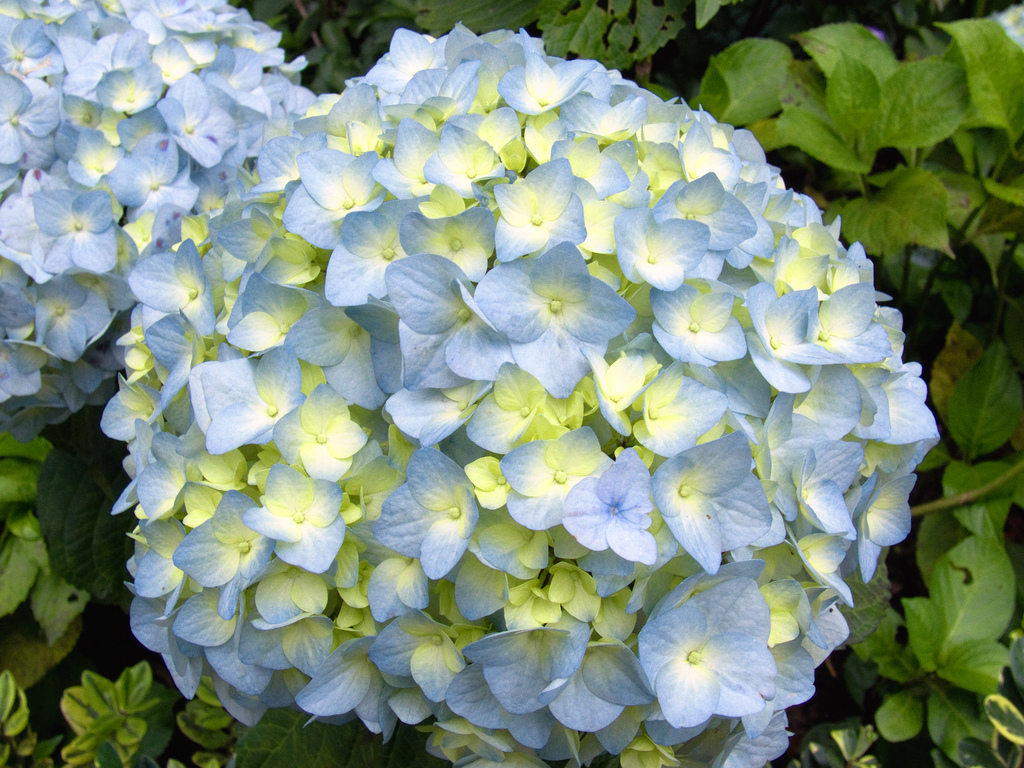 photo 6878 hydrangea macrophylla 39 nikko blue 39 plant lust. Black Bedroom Furniture Sets. Home Design Ideas
