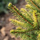 Picea abies 'Amber Flickers'