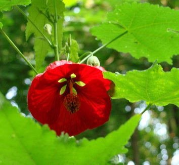 Abutilon megapotamicum x [Red Flower] 1 flower