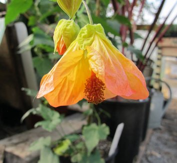 Abutilon x 'Kenny Sweetheart' 1 flower