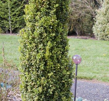 Buxus Sempervirens Graham Blandy Boxwood American