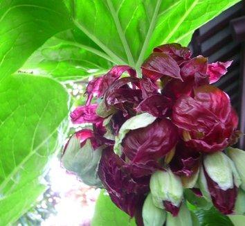 Podophyllum pleianthum 2 flower