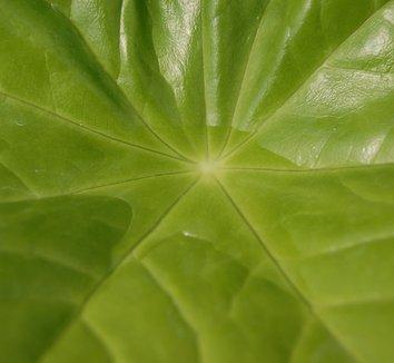 Podophyllum pleianthum 7