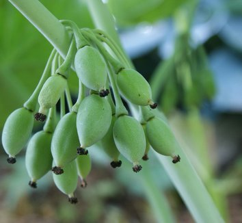 Podophyllum pleianthum 12