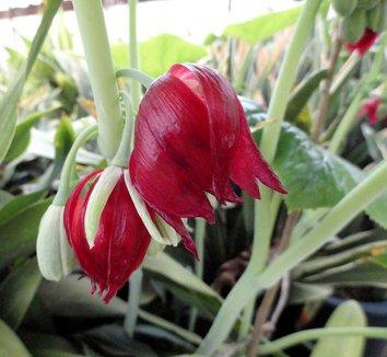 Podophyllum pleianthum 17 flower