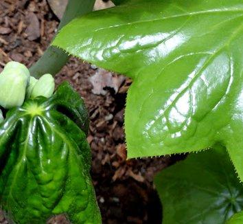 Podophyllum pleianthum 16 emerging leaves