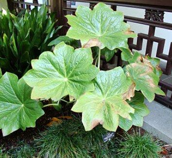 Podophyllum pleianthum 19