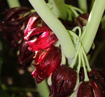 Podophyllum pleianthum 33 flower