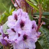 Rhododendron 'A. Bedford'