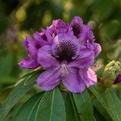 Rhododendron 'Abe Arnott'