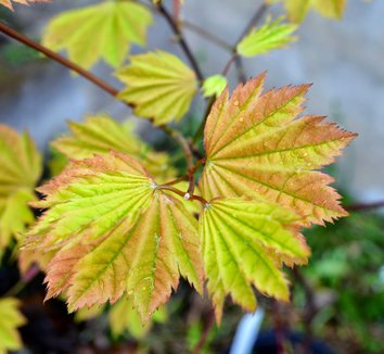 Acer circinatum 'Sunglow' 13