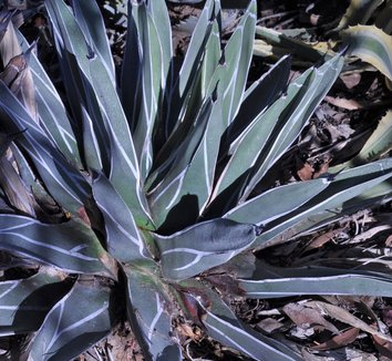 Agave nickelsiae 1