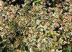 Abelia x grandiflora 'Mardi Gras'  15203