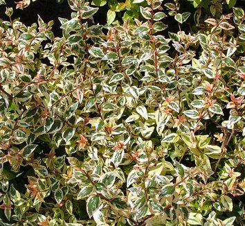 Abelia x grandiflora 'Mardi Gras'  15203  1 flower