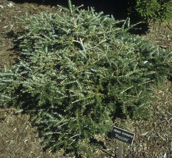 Abies koreana 'Piccolo' 1