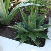 Agave 'Baccarat'