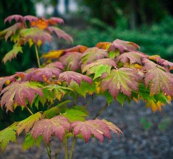 Acer japonicum 'Otaki' 1