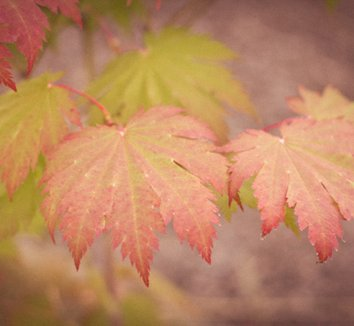 Acer japonicum 'Otaki' 7