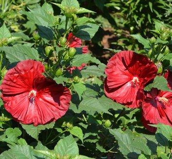 Hibiscus 'Robert Fleming'  14776 5 flower
