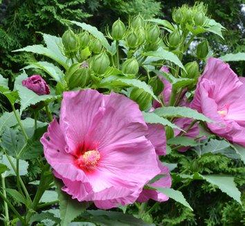 Hibiscus 'Fantasia'  11,853 6 flower