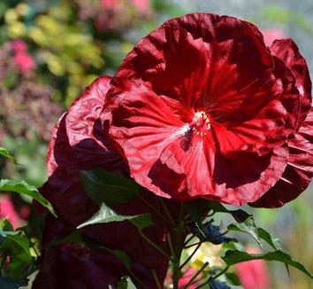 Hibiscus 'Robert Fleming'  14776 6 flower