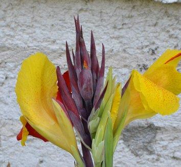 Canna 'Cleopatra' 4 flower
