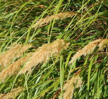 Stipa calamagrostis 3