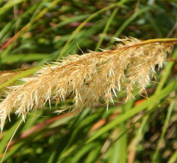 Stipa calamagrostis 4