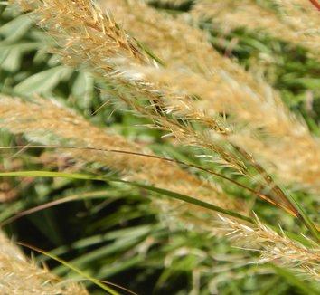 Stipa calamagrostis 5