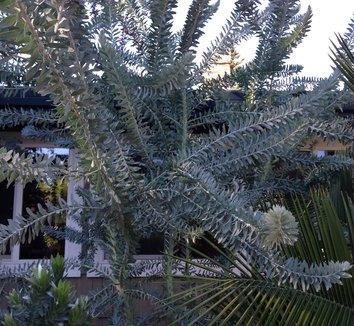 Acacia covenyi 1