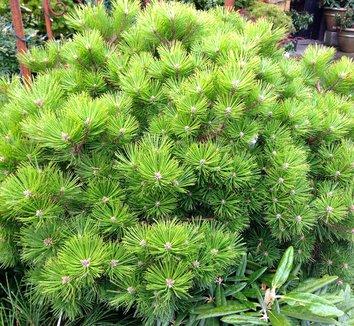 Pinus densiflora 'Vibrant' 1