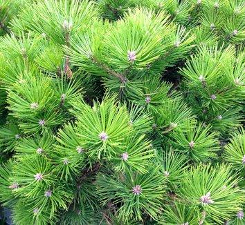 Pinus densiflora 'Vibrant' 3