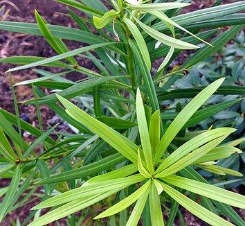Podocarpus macrophyllus 8