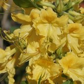 Rhododendron 'Admiral Semmes'
