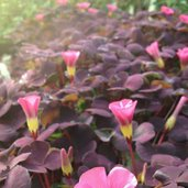 Oxalis 'Ruby Slippers'
