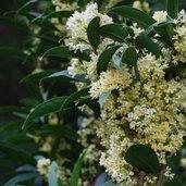 Osmanthus fragrans 'Fudingzhu'